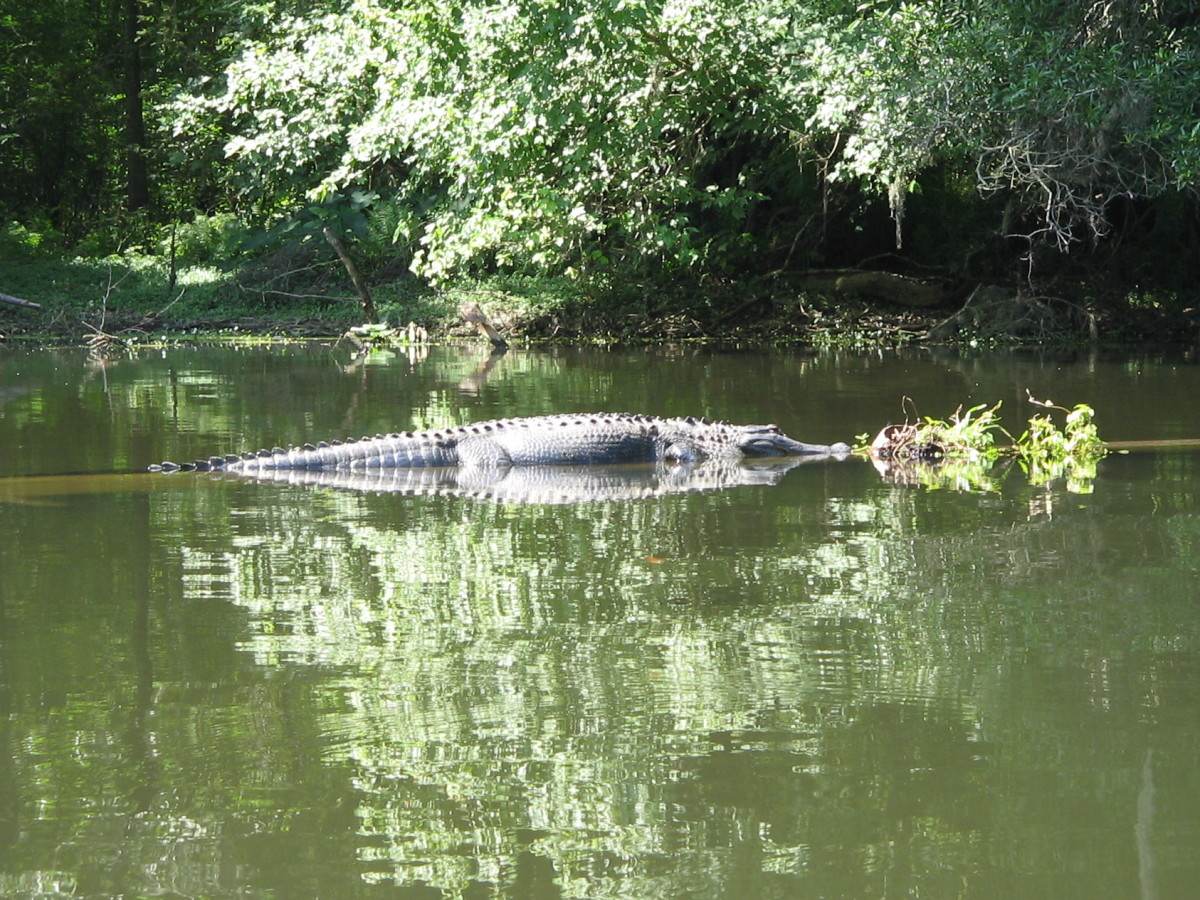 Kayaking the Hillsborough River of Central Florida