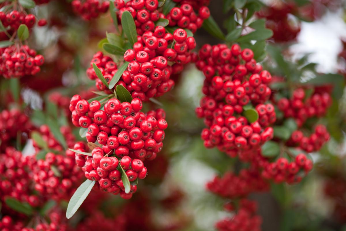 Red pommes of Firethorn
