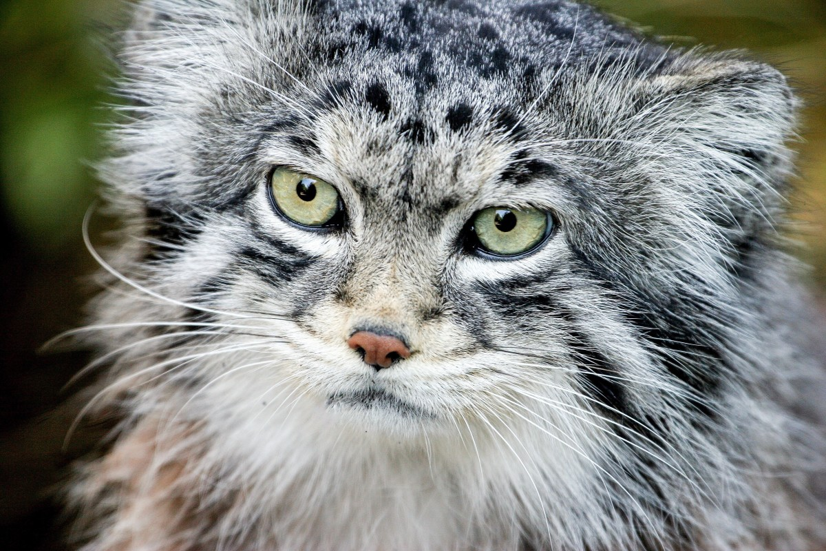 A Pallas cat at the Edinburgh Zoo