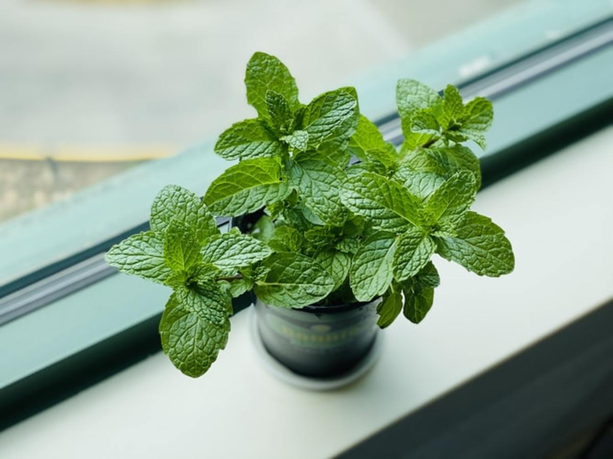 How to Grow Mint Like an Expert