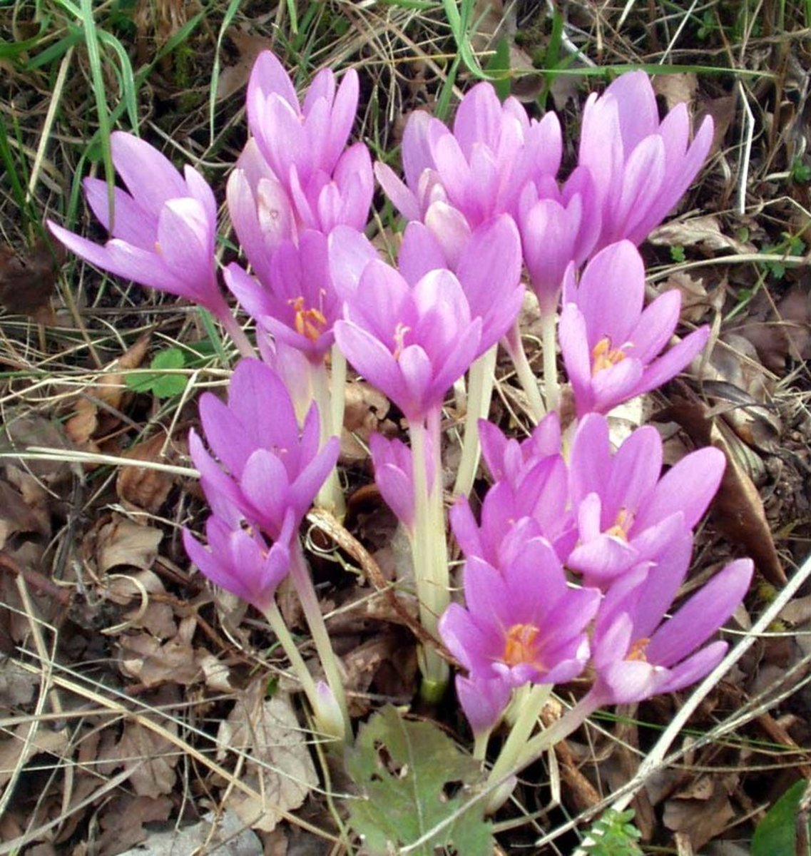 How to Grow Autumn Crocus (Meadow Saffron) for Fall Color