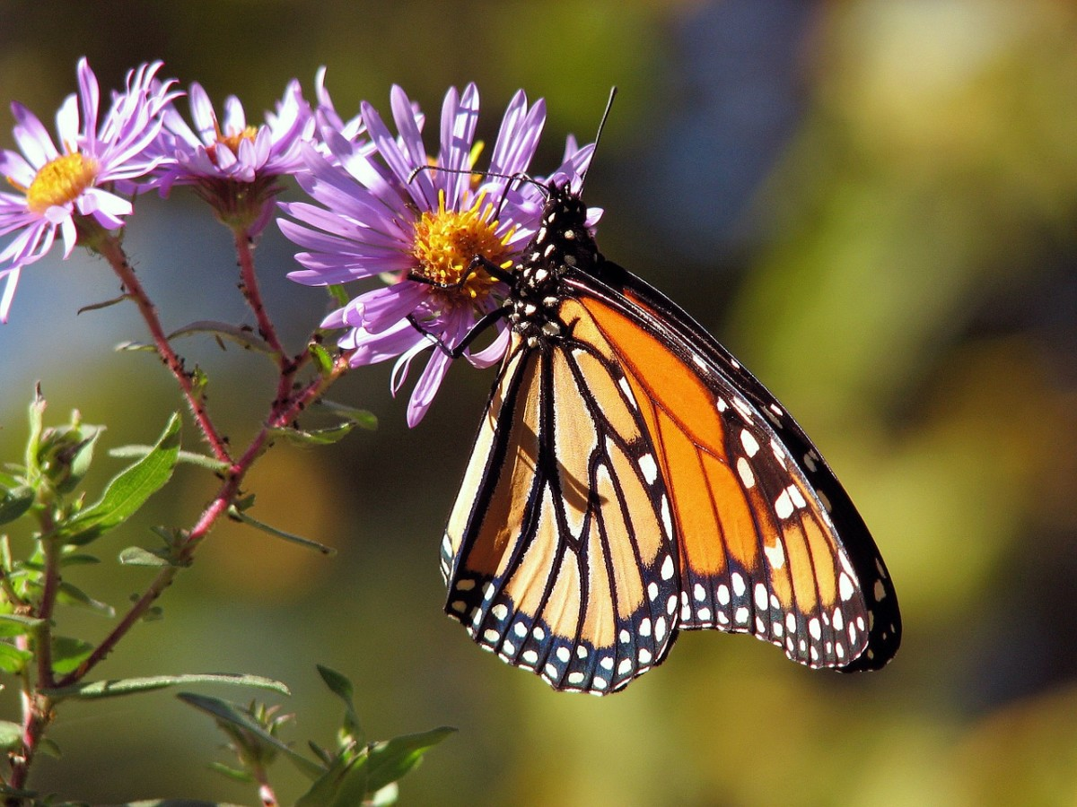 Help Monarch Butterflies by Planting Milkweed in Your Garden