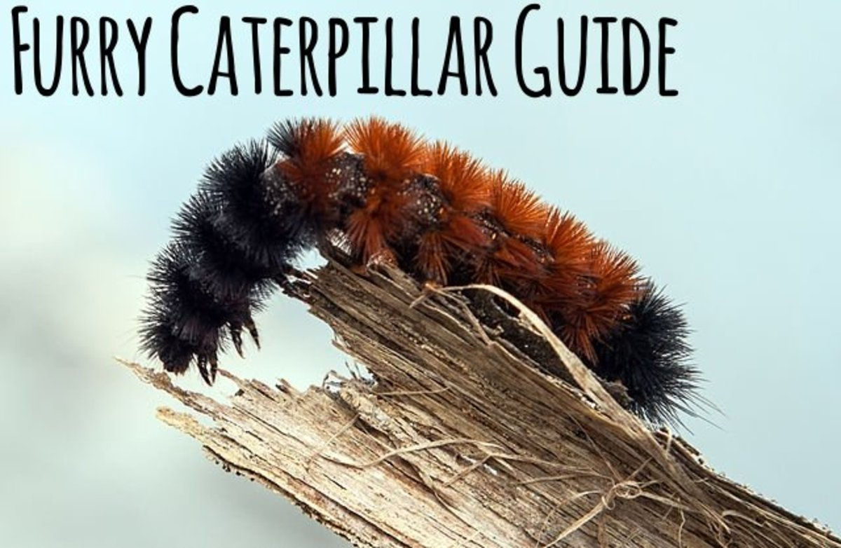 Furry Caterpillar Identification Guide