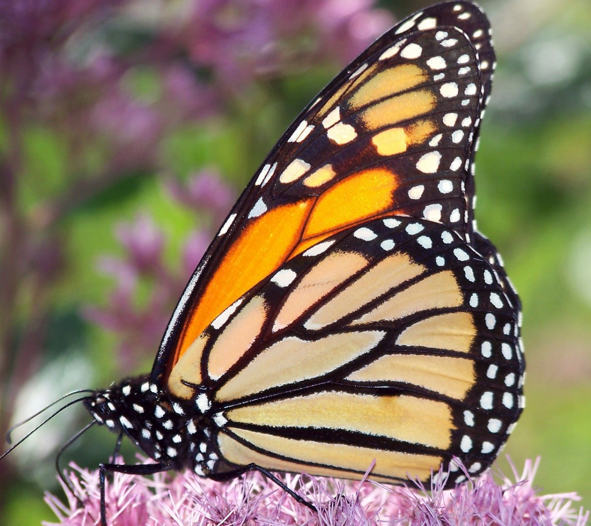 The big, beautiful monarch is an iconic North American butterfly.