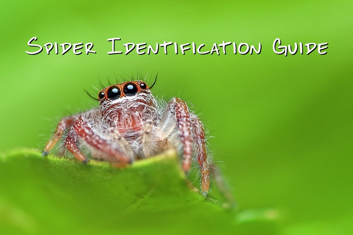 Spider Types and Identification Guide