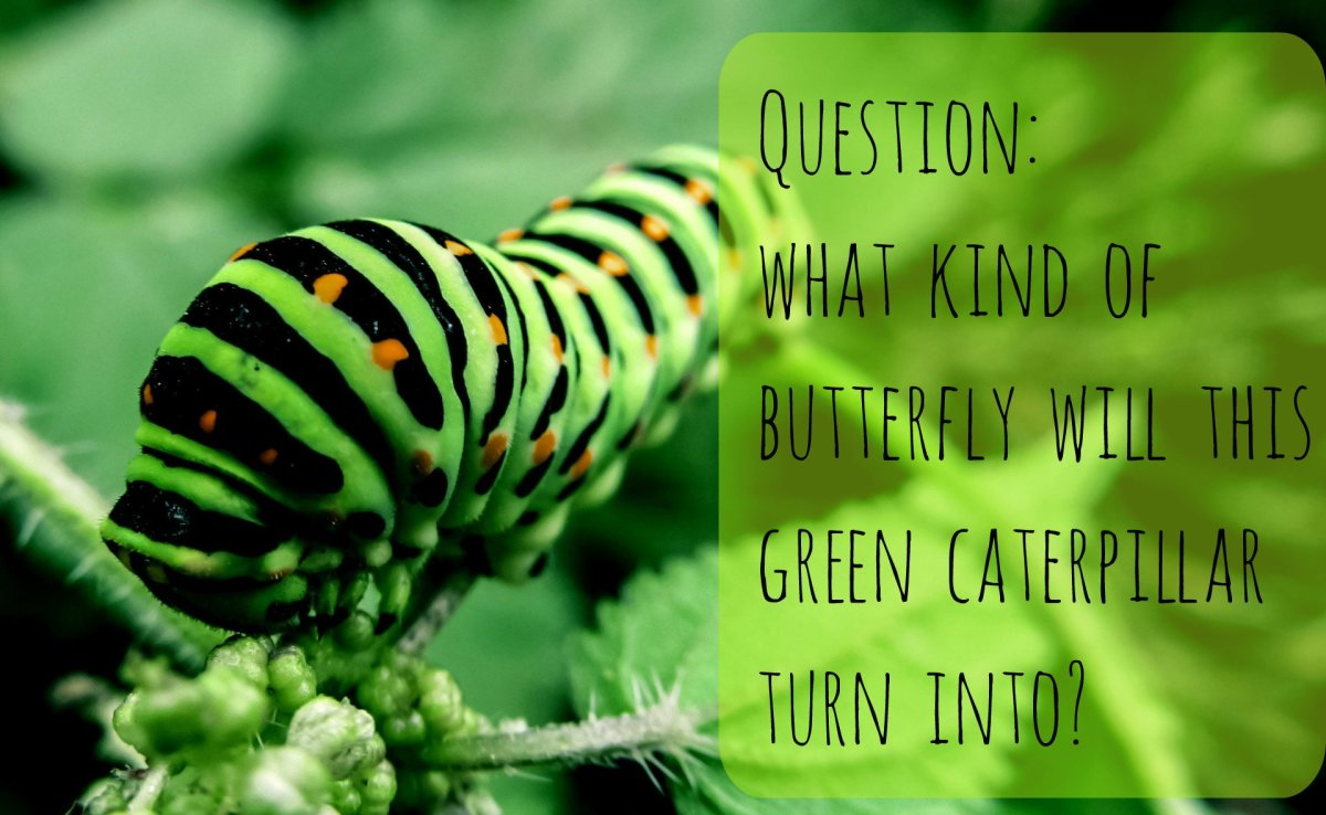 Answer: A black swallowtail butterfly. Find out how to identify 15 other green caterpillars below.
