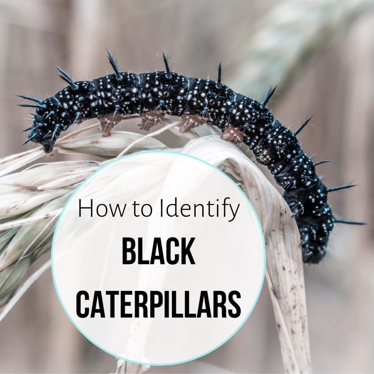 From the spiky peacock butterfly caterpillar to the drab black cutworm, there are lots of black or mostly black caterpillars out there. What kind have you found?