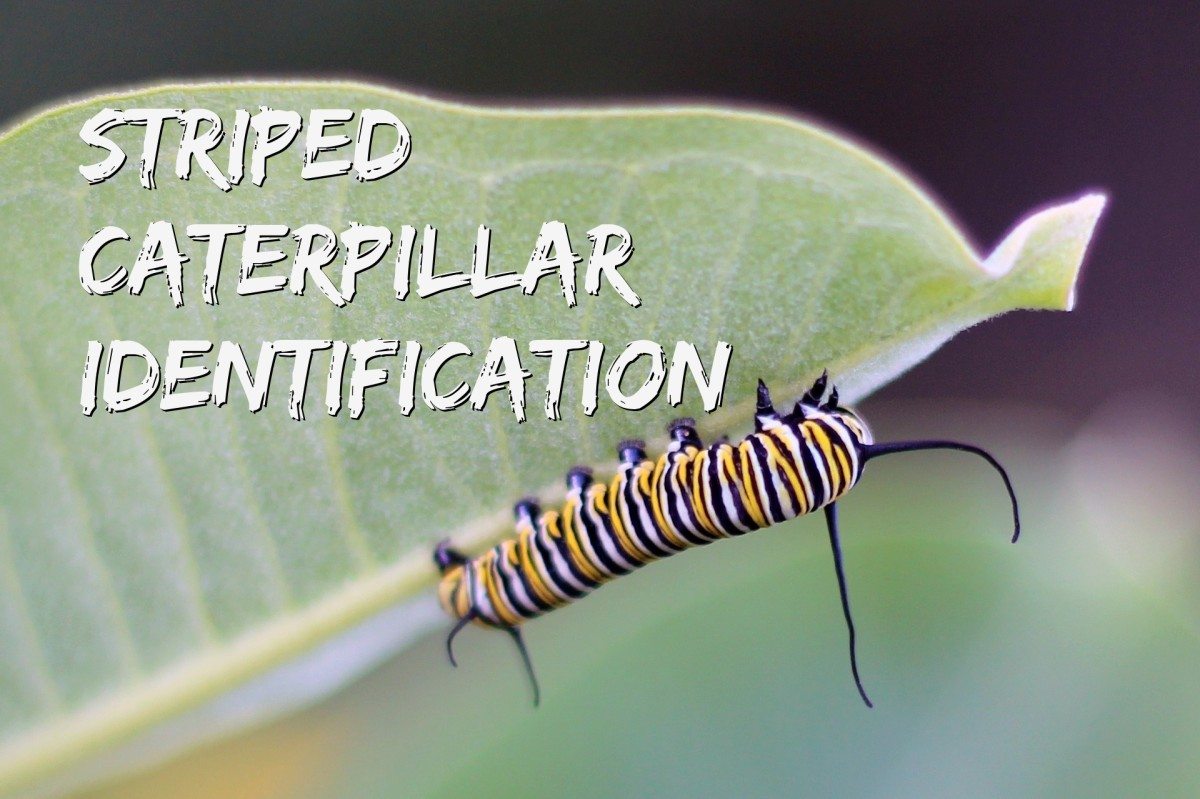 What kind of caterpillar is this? Read on to find out how to identify the striped cats in your backyard.