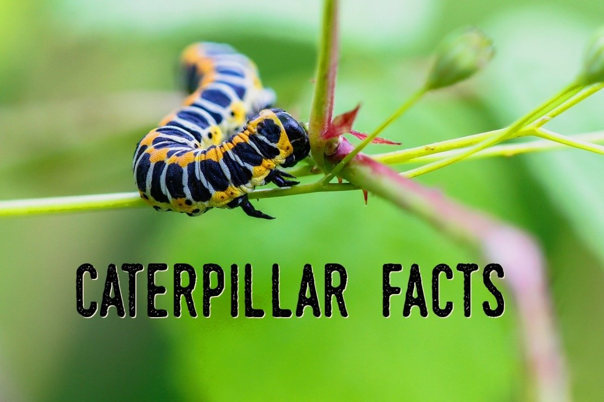 Caterpillar Facts: Questions and Answers About Caterpillars