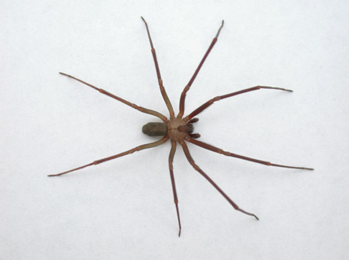 Brown Recluse Identification and Control | Owlcation