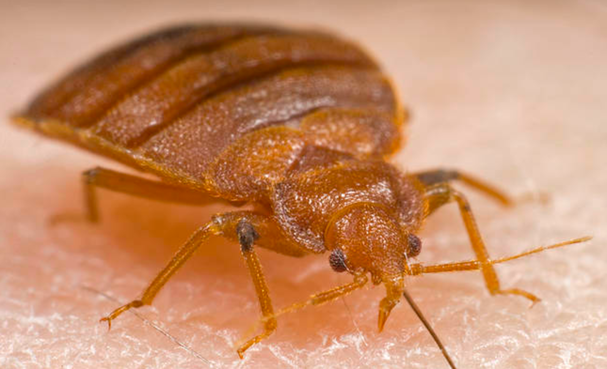 Bed bugs hide in beds and bite humans to feed on their blood.