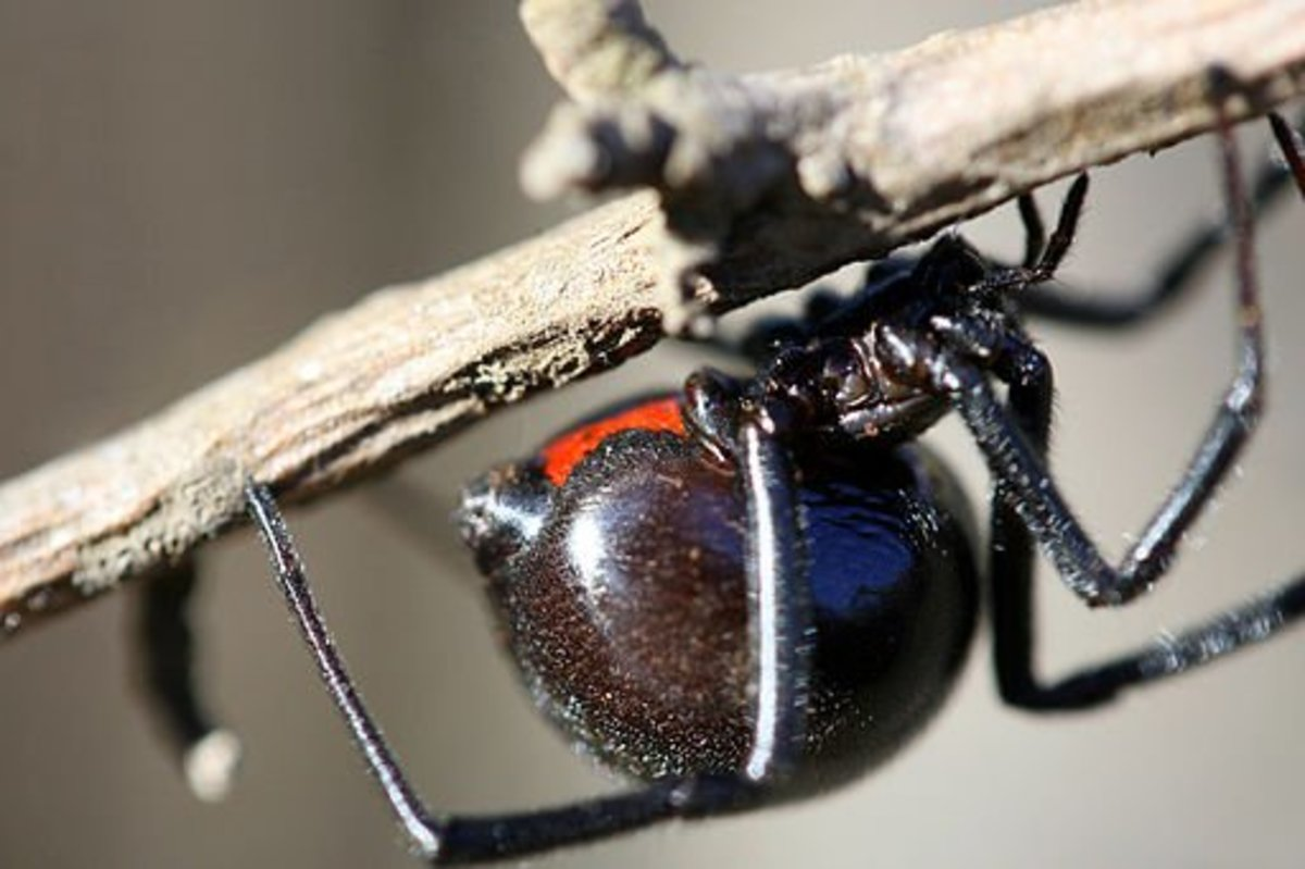 A close-up photograph of a female black widow. Note the robust body, long black legs, and red hourglass.