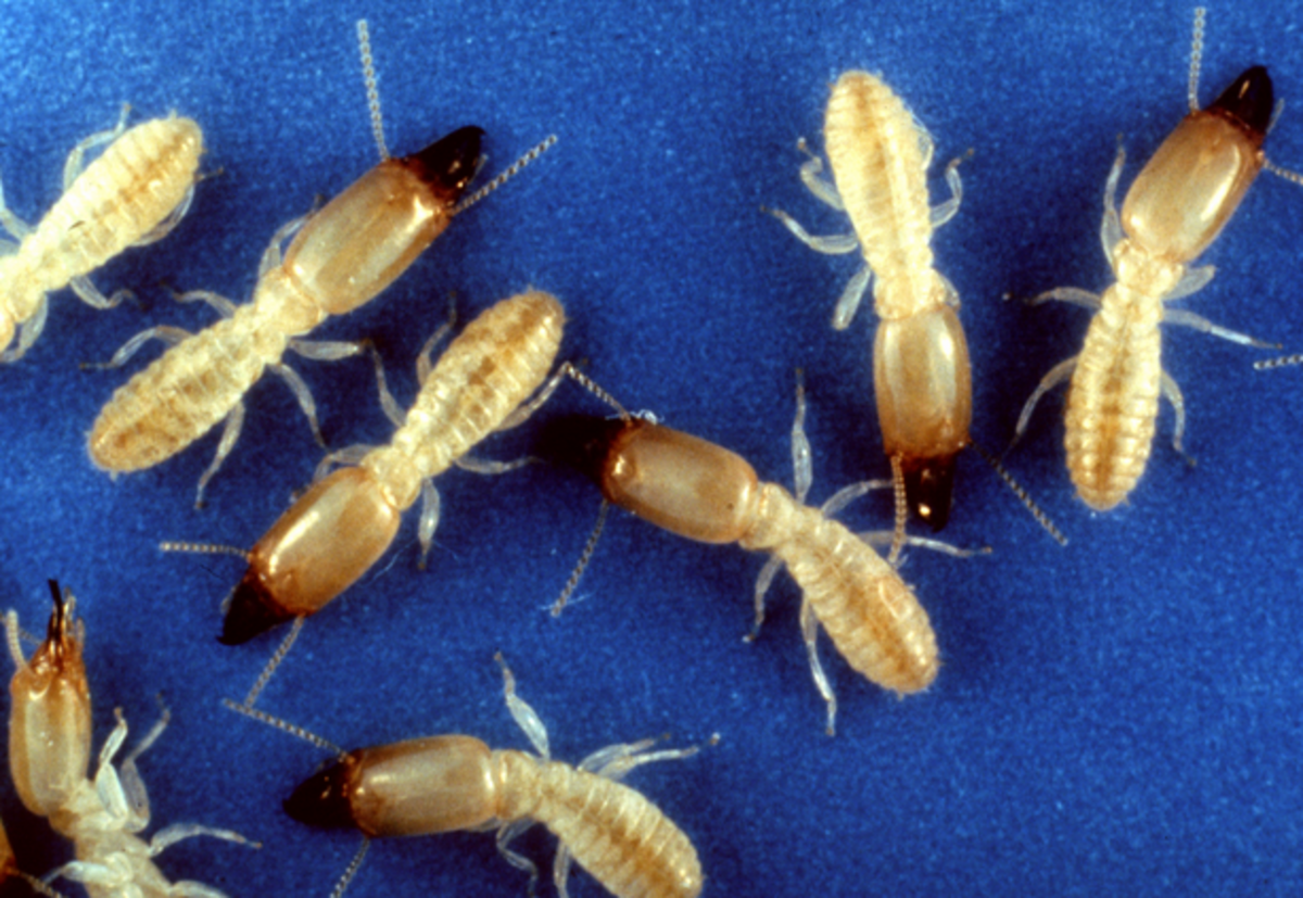 Termite or Ant? Here's How to Tell