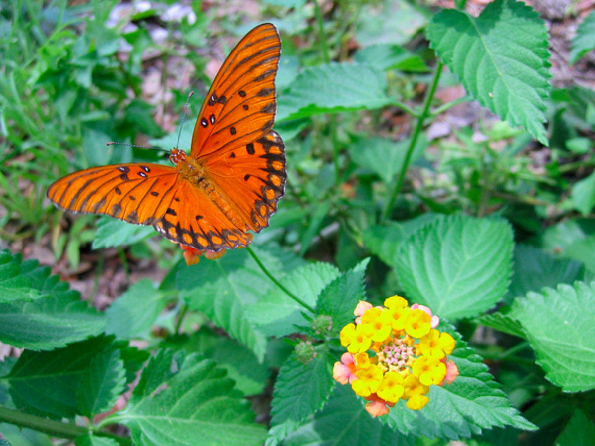 The beautiful gulf fritillary, Agraulis vanillae, is one of the orange butterflies described in this guide.