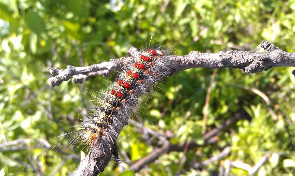 Learn how to identify gypsy moth caterpillars.