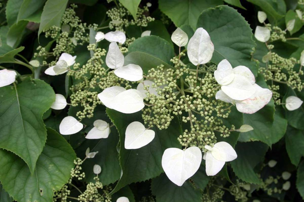 Beautiful White Cluster Flowers on a Climbing Hydrangea