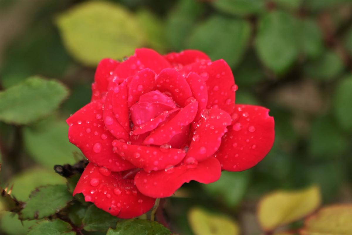 Red Miniature Rose and Rain Drops
