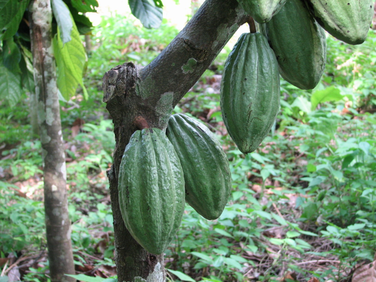 Cocoa bean pods ripen on a cacao tree.