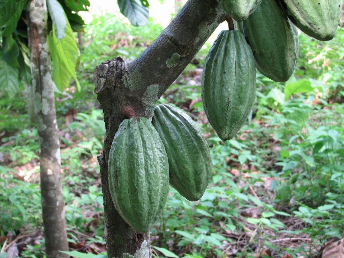 Cocoa bean pods ripen on a cacao tree.