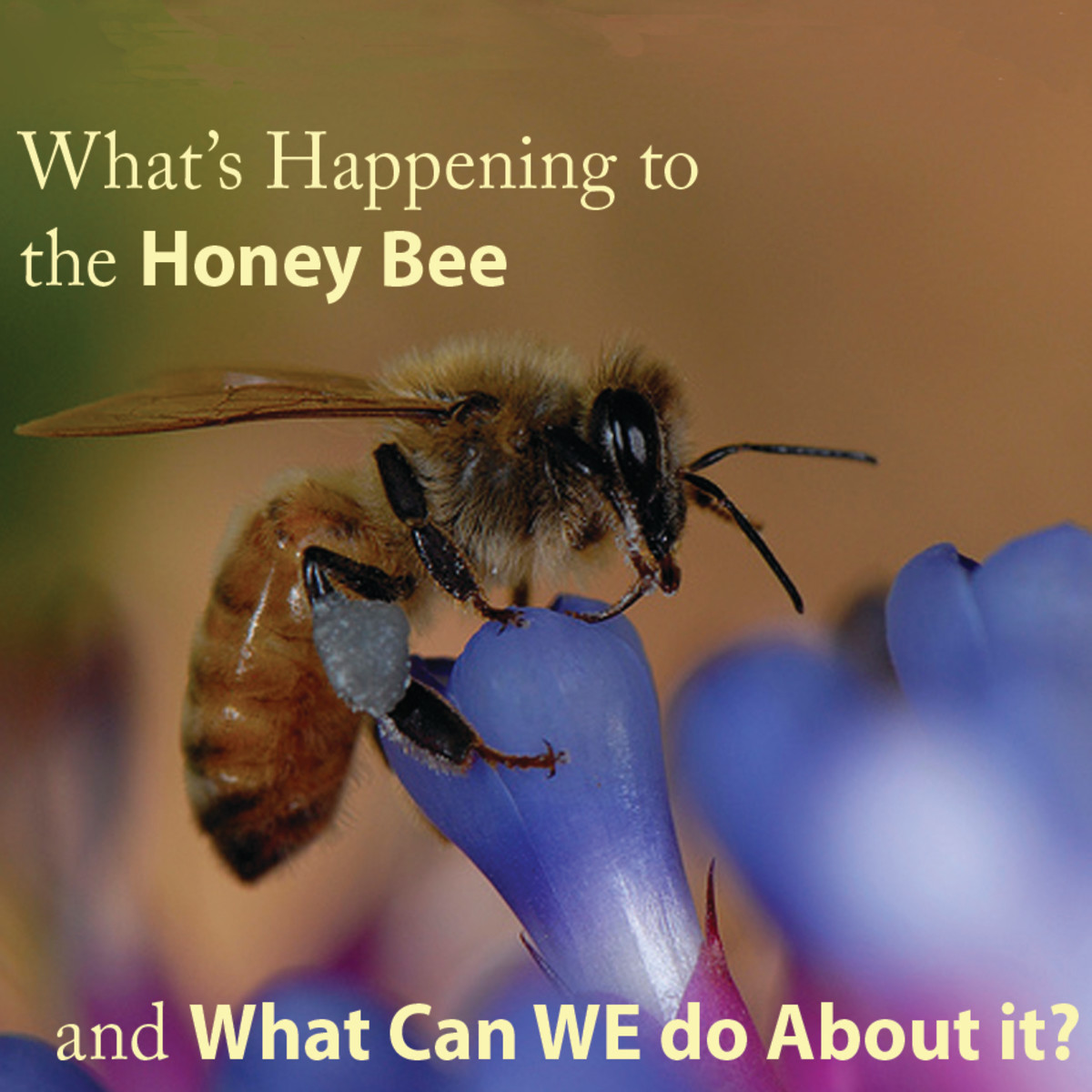 What is Honey Bee Colony Collapse Disorder and What Can we do About it?
