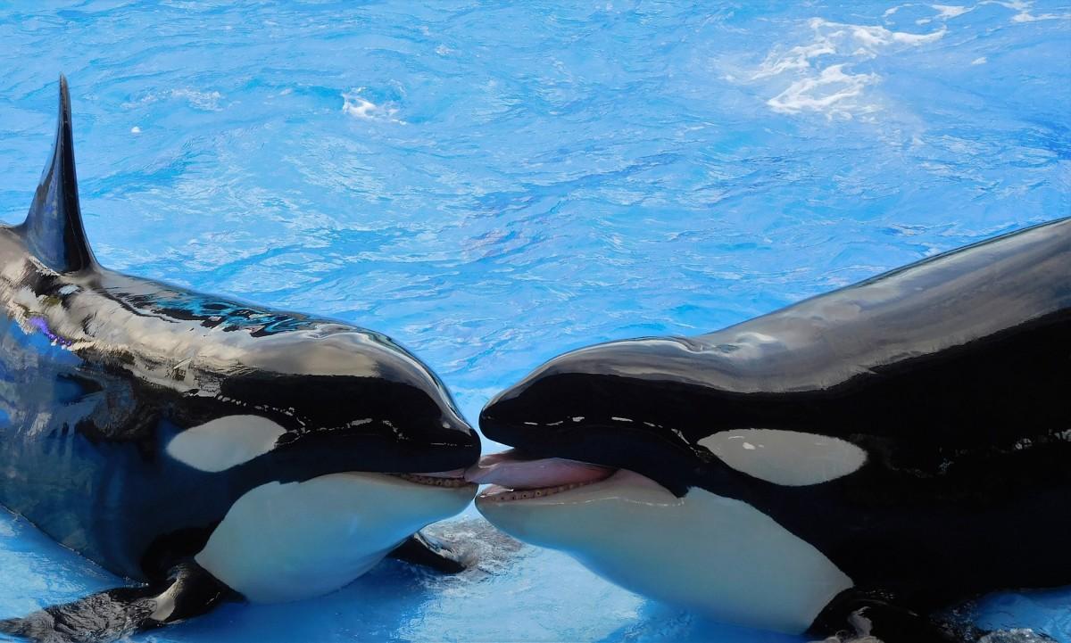 killer whale in captivity
