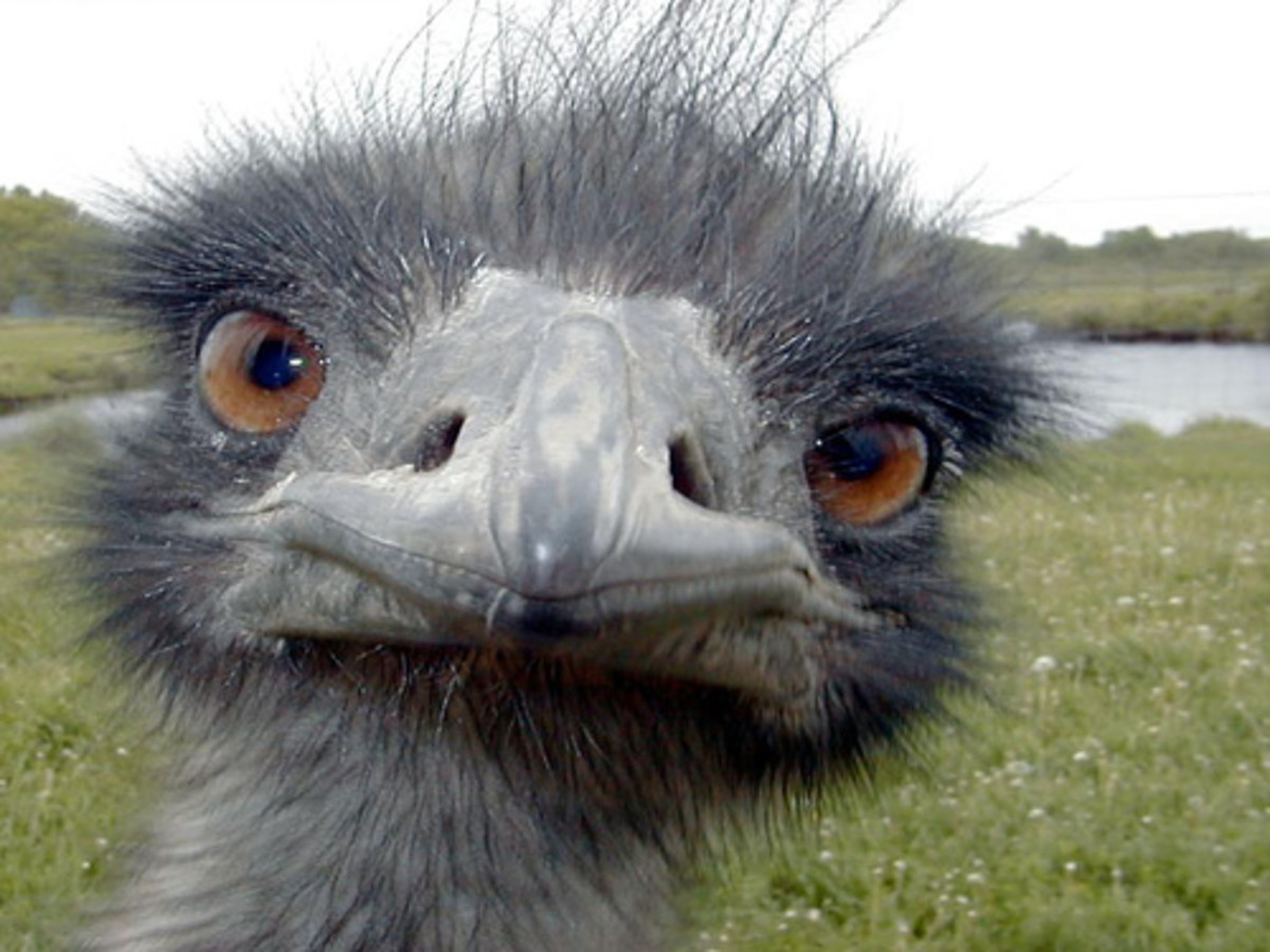Emus are large, flightless birds that live only in the southern hemisphere and are related to ostriches.