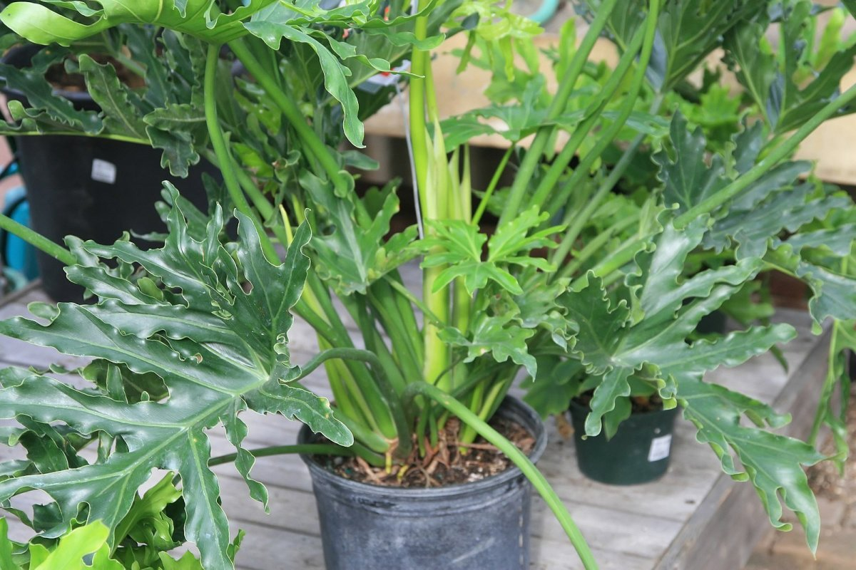 How To Care For A Philo Or Philodendron Selloum Hope Houseplant Dengarden Home And Garden