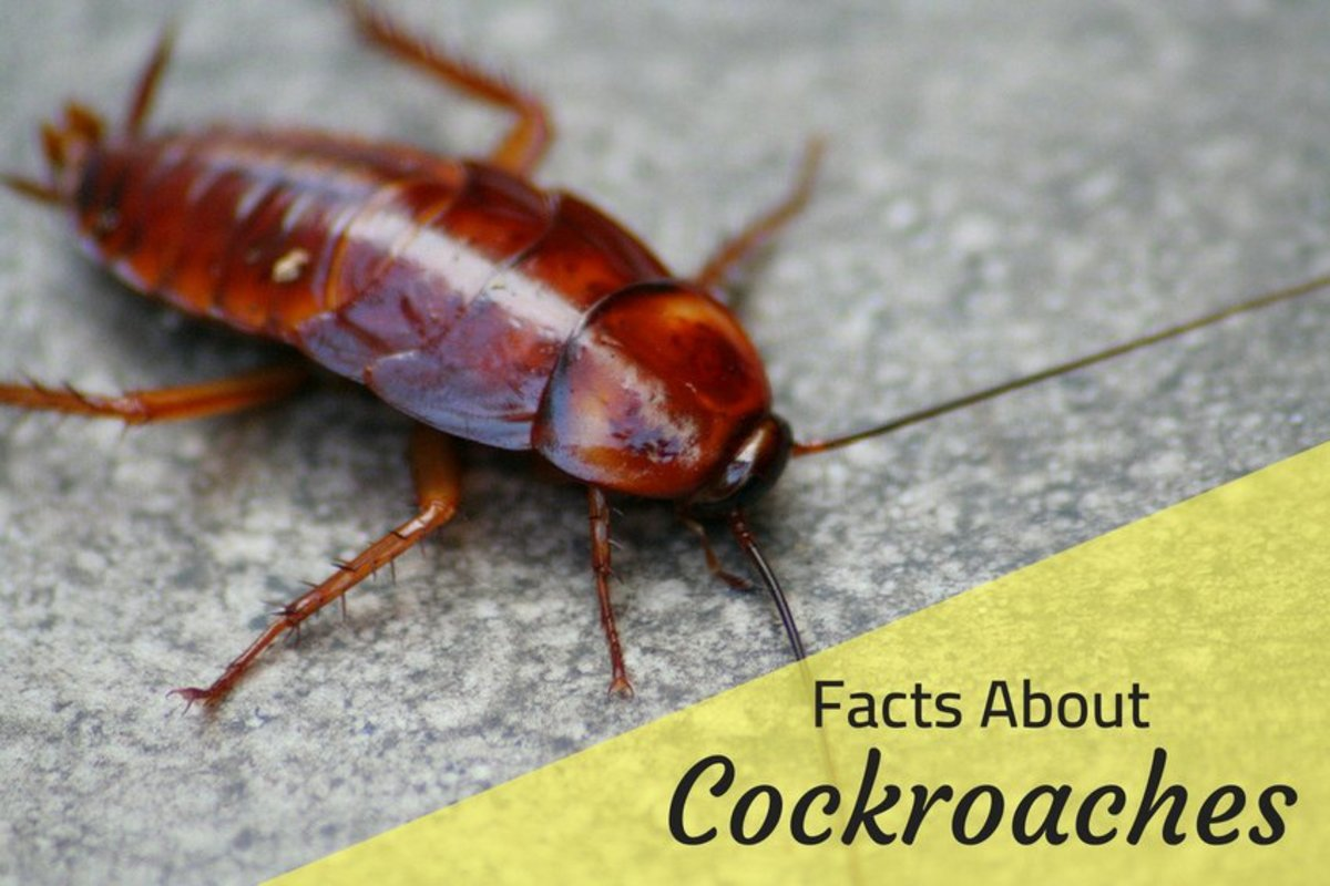 Roach Facts: Why Do Cockroaches Die on Their Backs and More | Owlcation