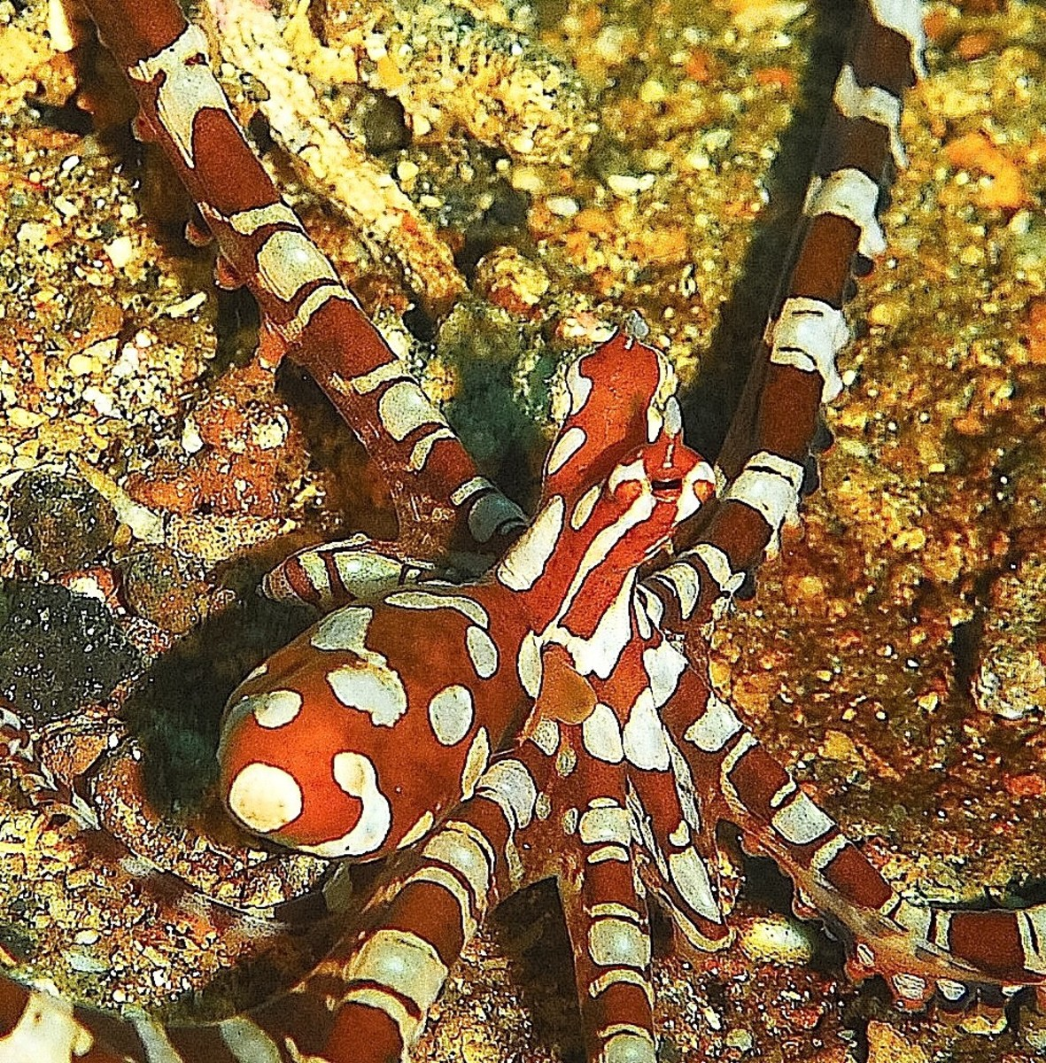 The Wonderpus and Mimic Octopuses of Indonesia and Malaysia