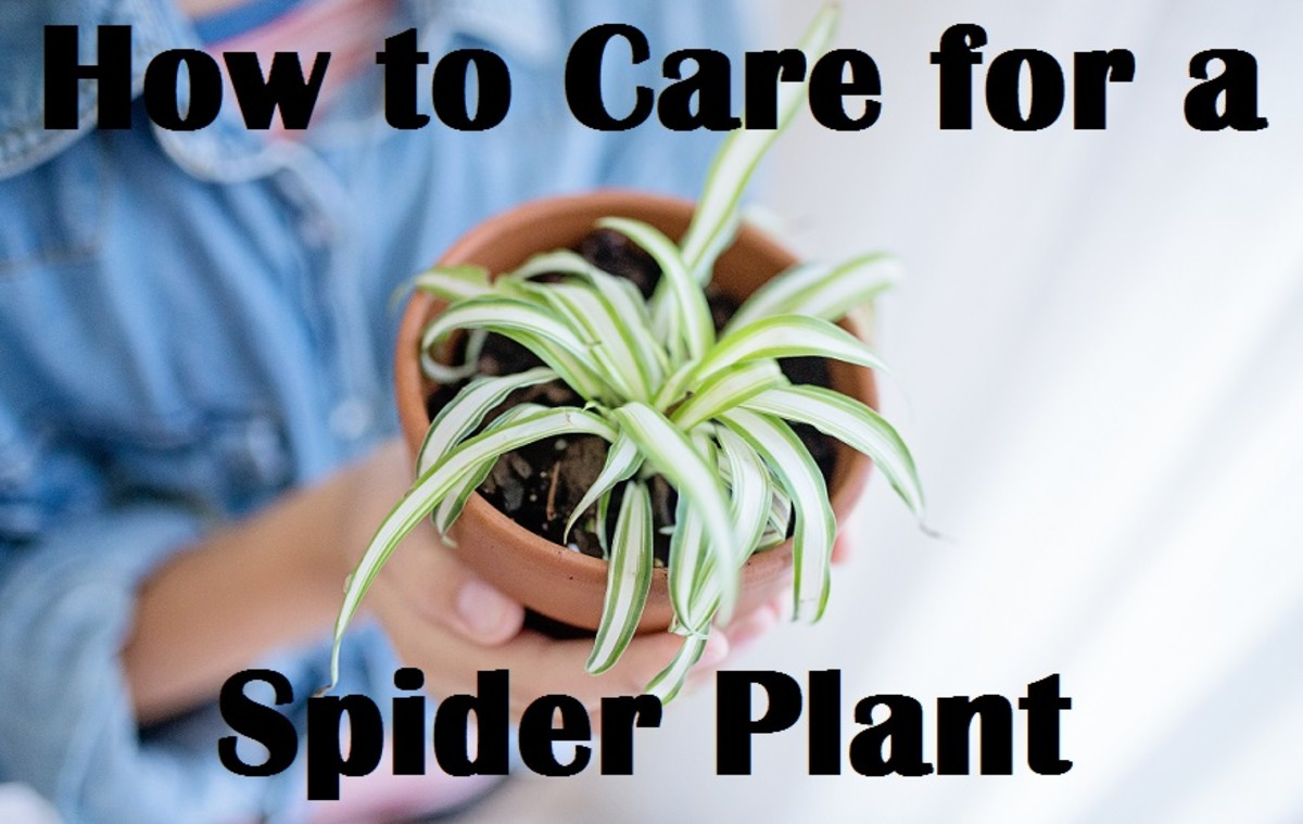 How to Care for a Spider Plant
