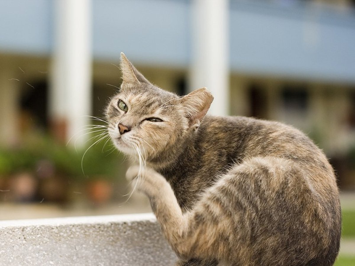 When a cat is scratching the ear and shaking the head, it can be a sign of many different ailments including mite bites in the cat's ear.