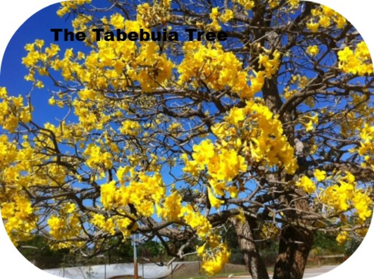 The beautiful Tabebuia tree Dr. Menninger introduced to Stuart, Florida.