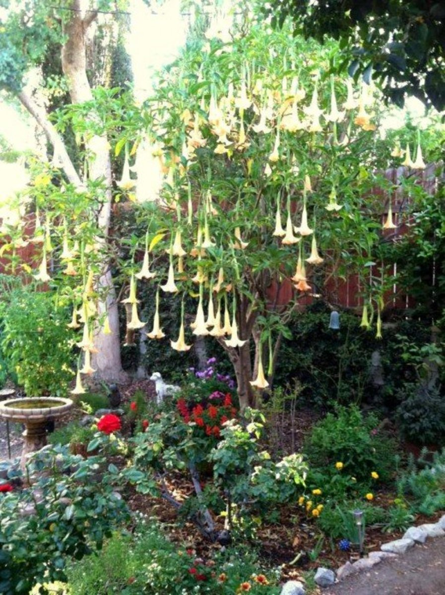 "A small tree can be a nice focal point in a large garden bed. Here a blooming Brugmansia (""Angel's Trumpet"") is an eye-catching centerpiece. Source: Catherine Tally 2014"