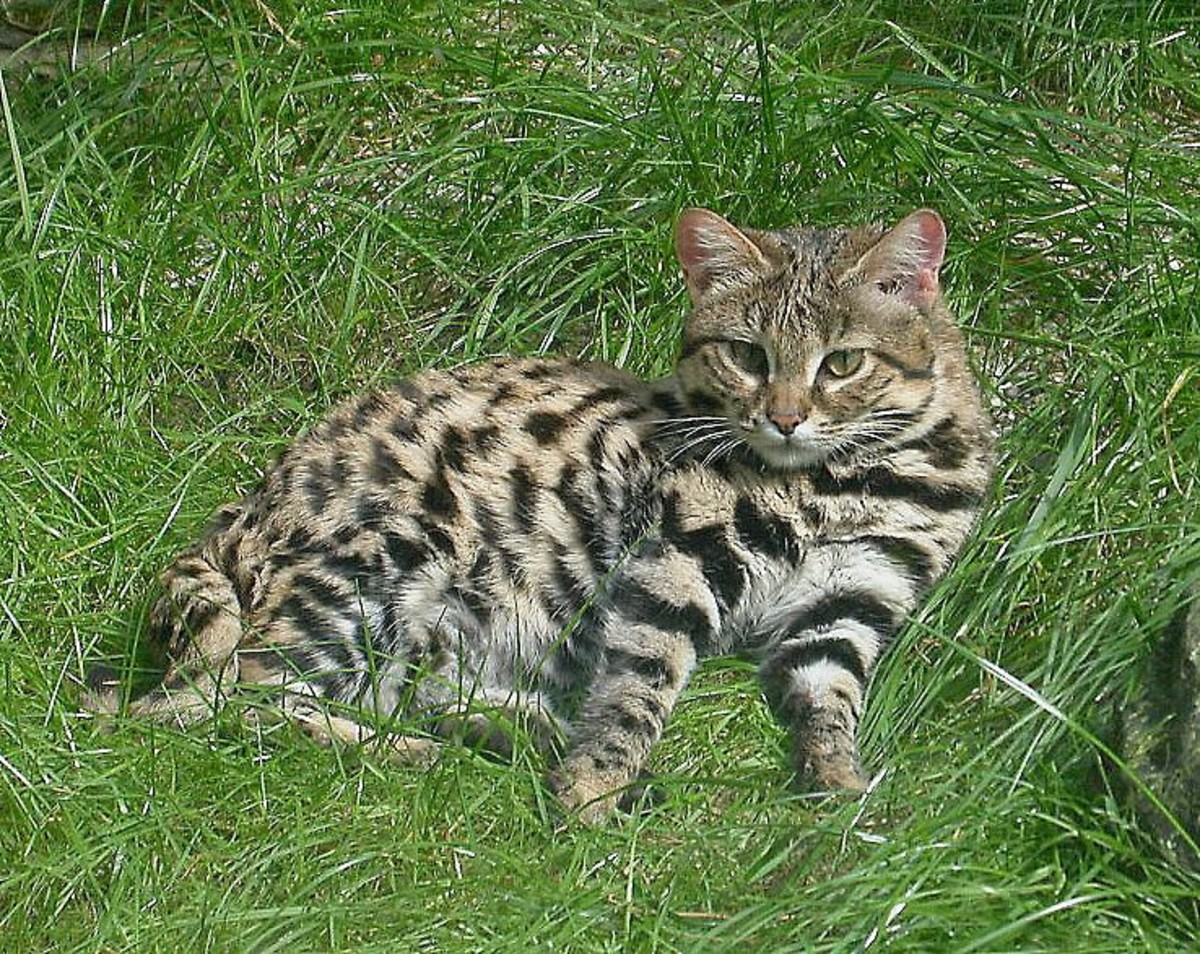 An African black-footed cat in captivity