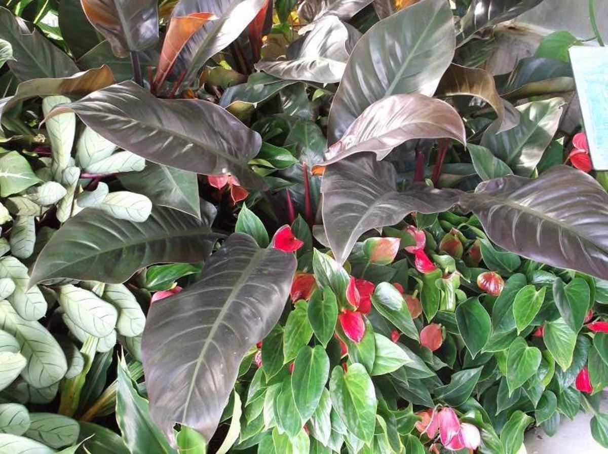 How to Care for Philodendron Congo