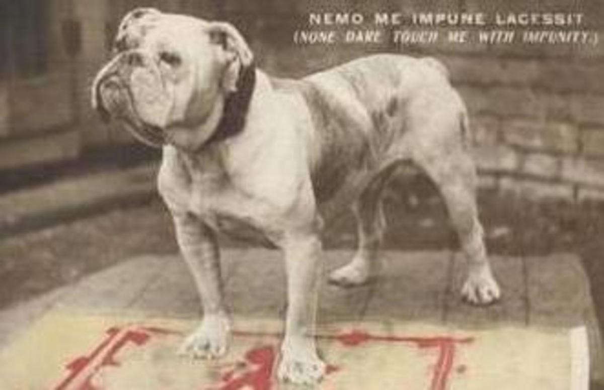 What you should know about English, Victorian, and Olde Tyme Bulldogs.
