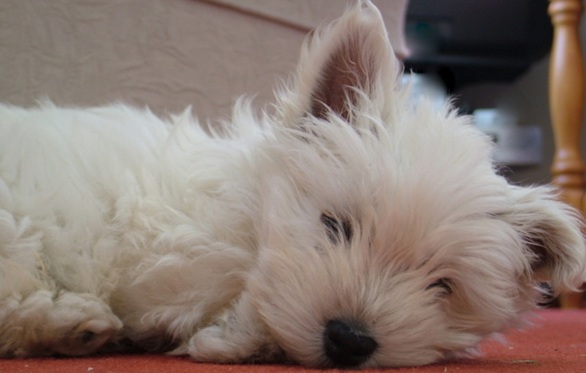 A peaceful Westie puppy