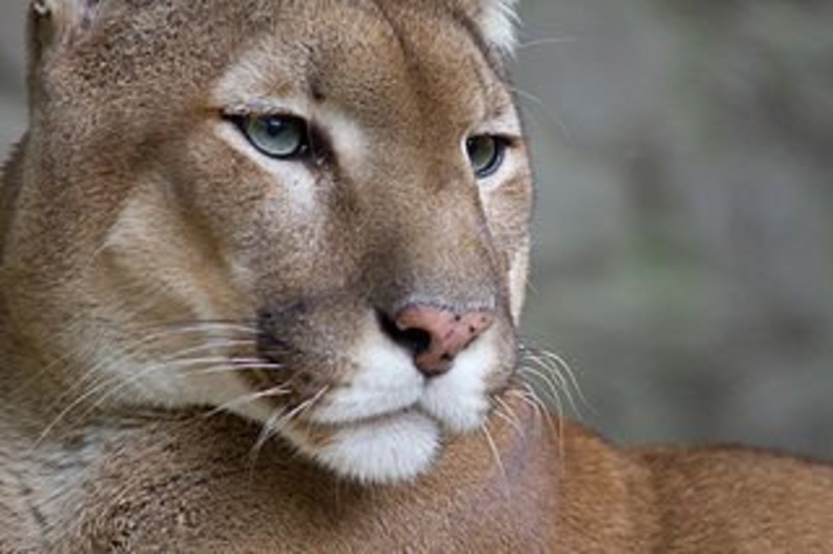 The Eastern Cougar in North Carolina