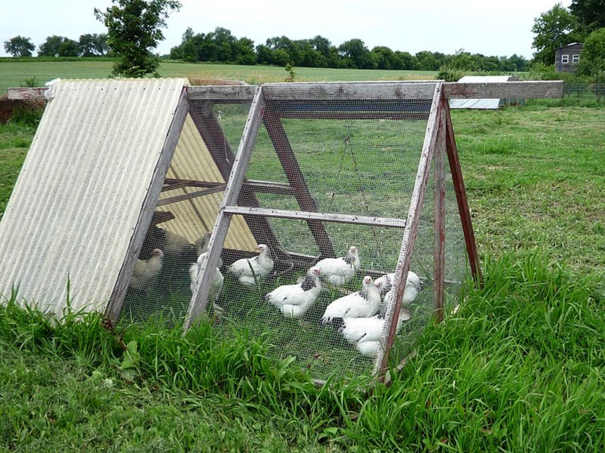 Chicken Tractors , Raising Chickens and Collecting Eggs, Free Range Chickens.