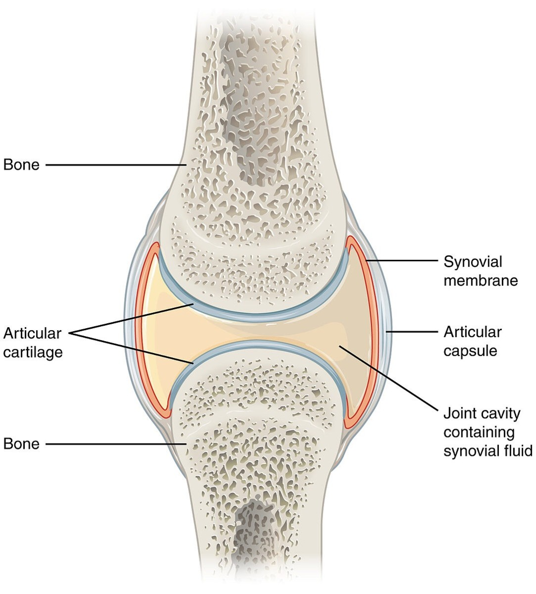 A synovial joint (without the surrounding  ligaments that hold the bones together); inflammation of the synovium, or synovial membrane, is known as synovitis