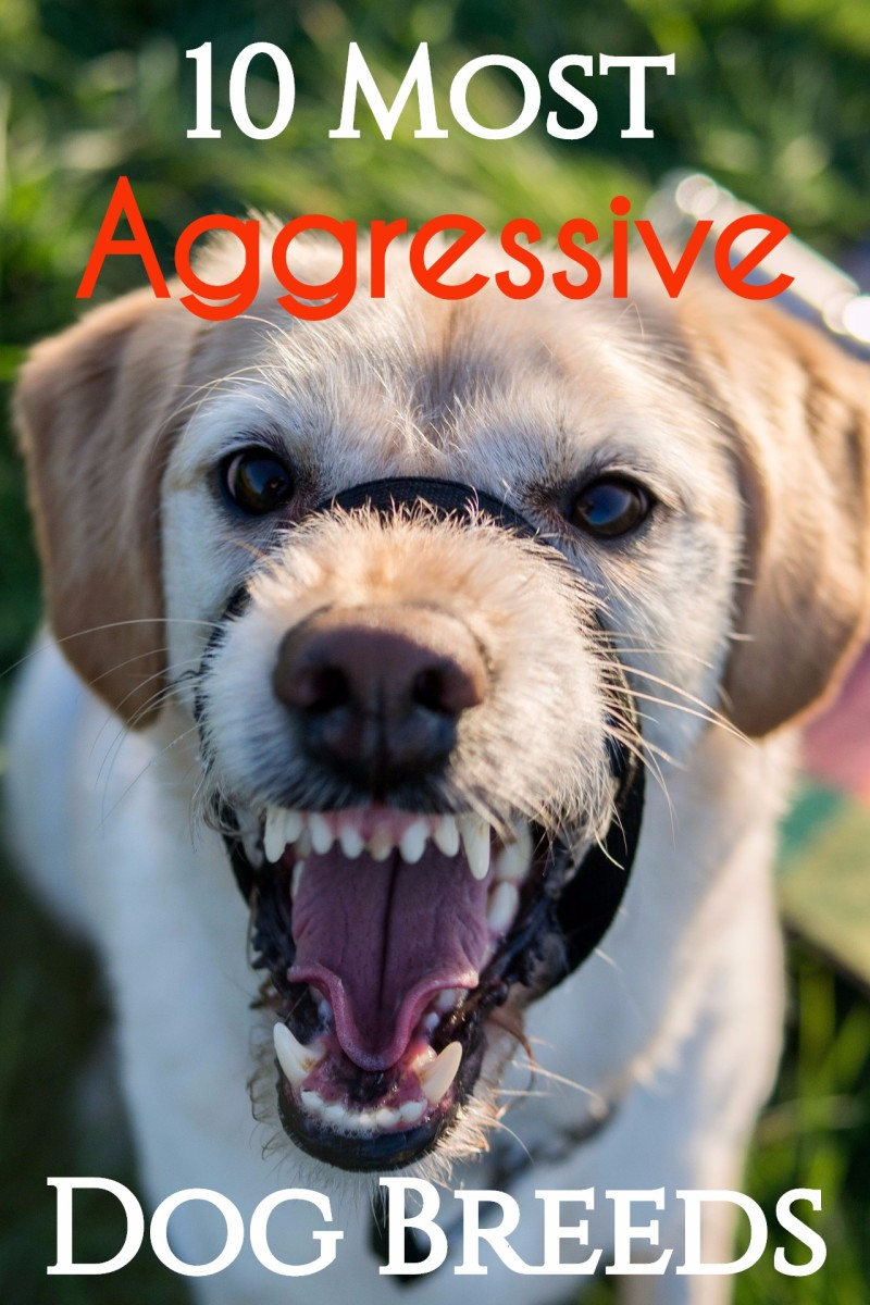 10 Most Aggressive Dog Breeds: Temperament Ratings and Information