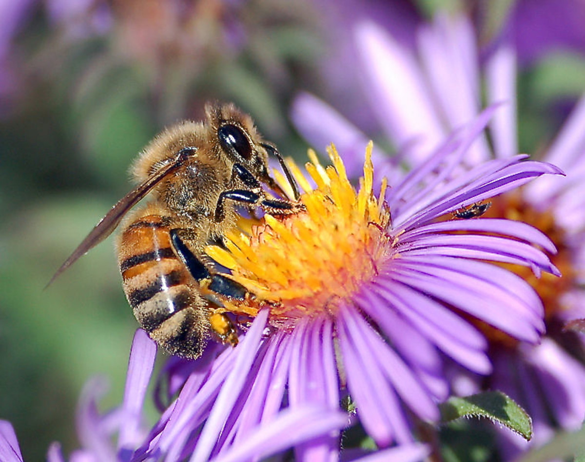 A European honeybee feeding on nectar