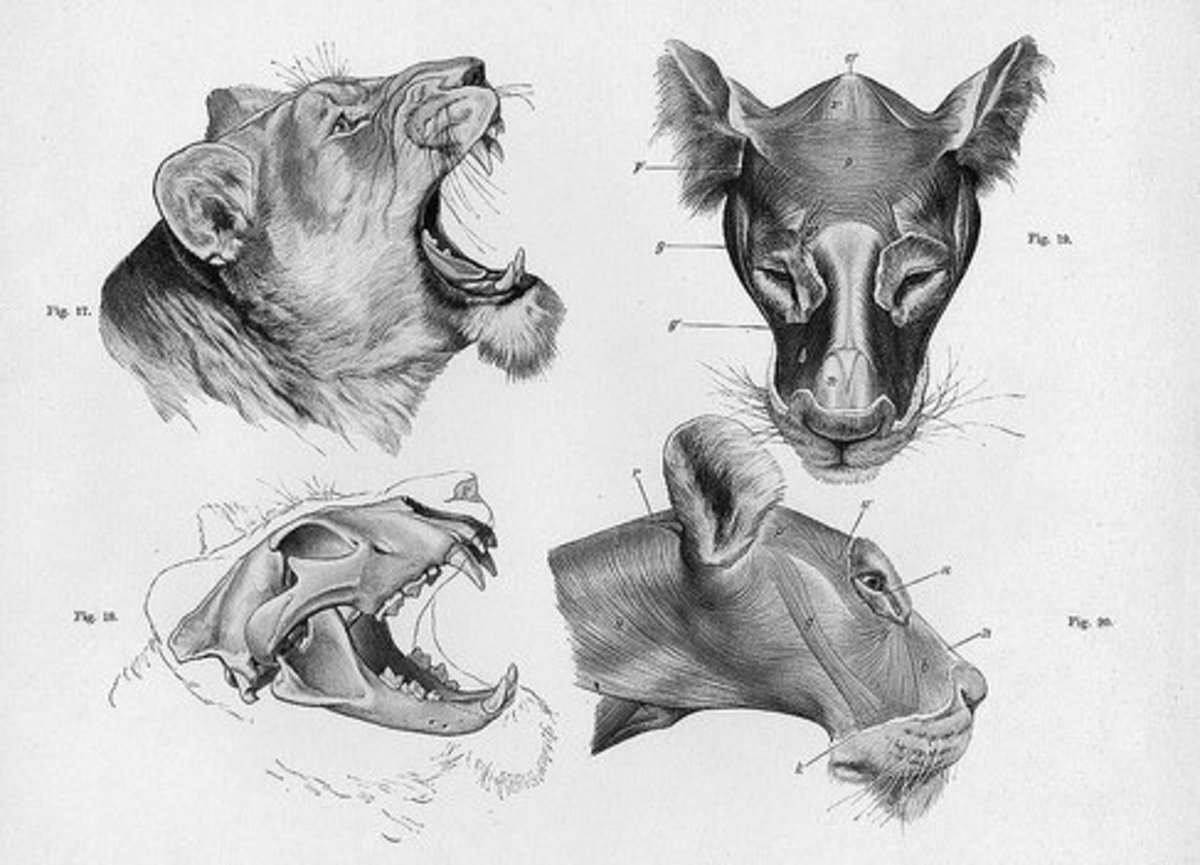 animals draw animal drawing anatomy drawings head scary tutorials learning tutorial creatures lion feltmagnet