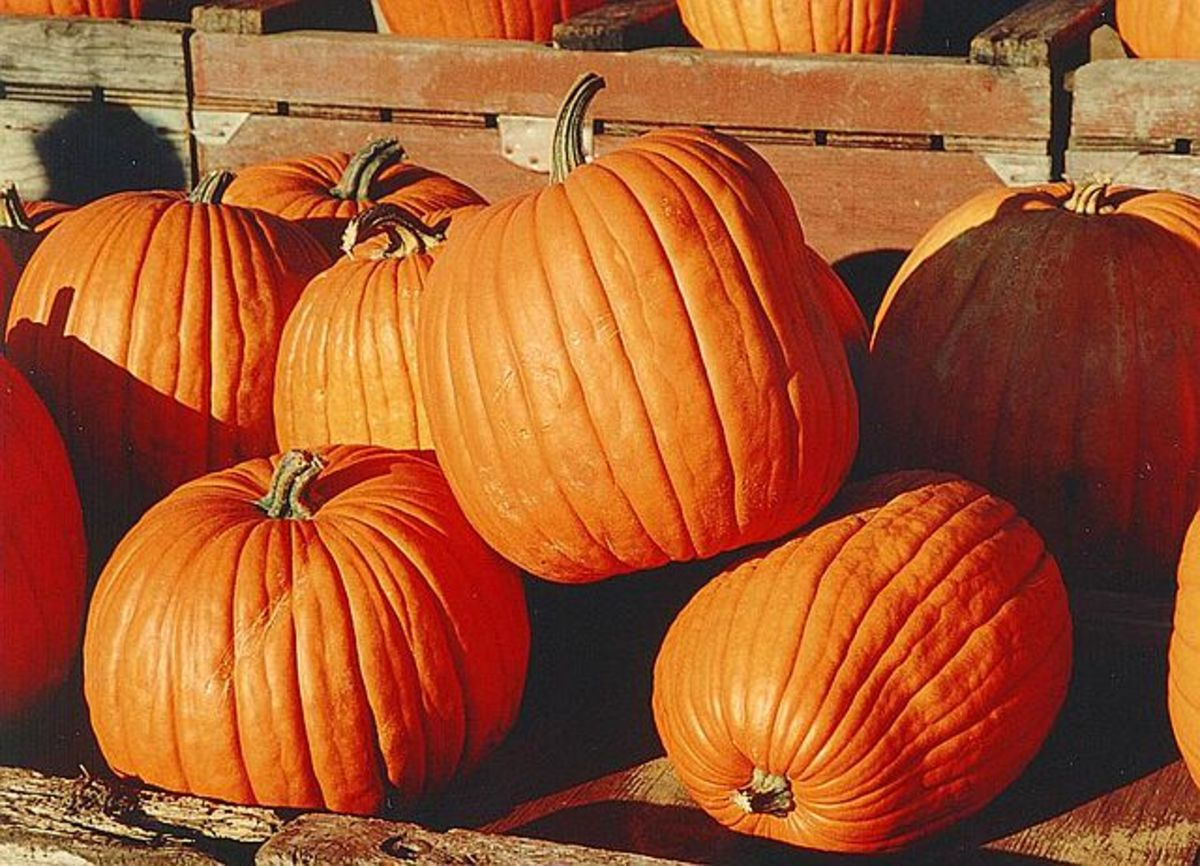 How to Raise Pumpkins: Rows vs. Hills