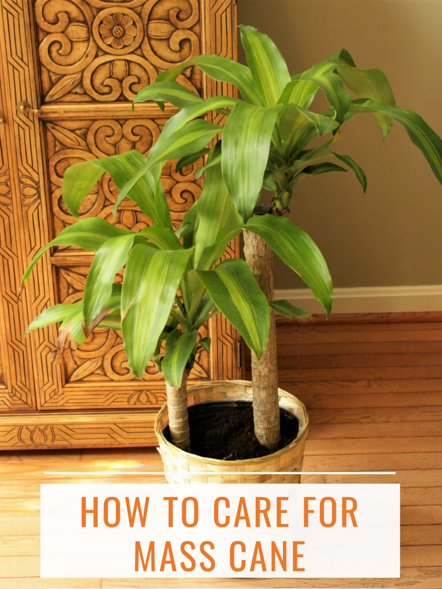 How to Care for Mass Cane (a.k.a. Corn Plant or Dracaena Massangeana)