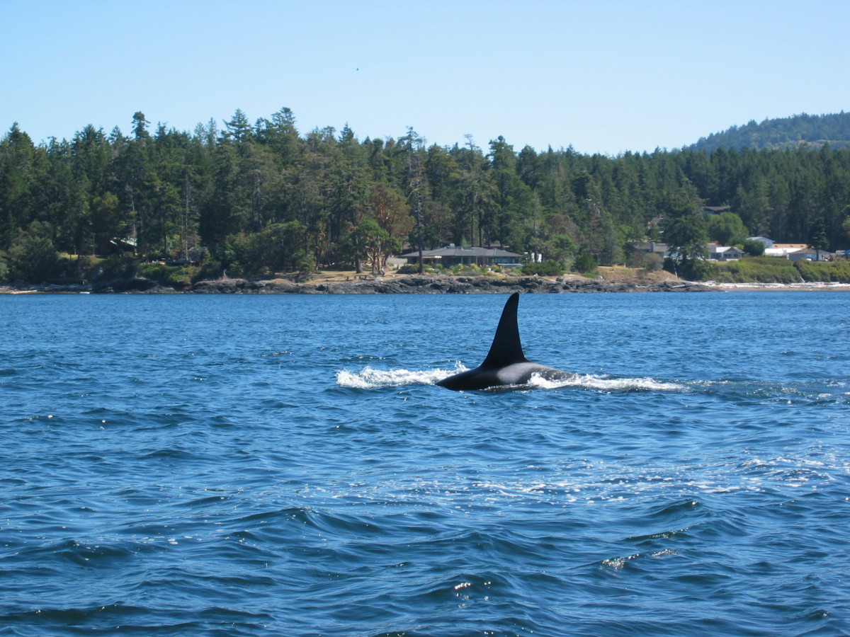 Whale Watching in the San Juan Islands, WA