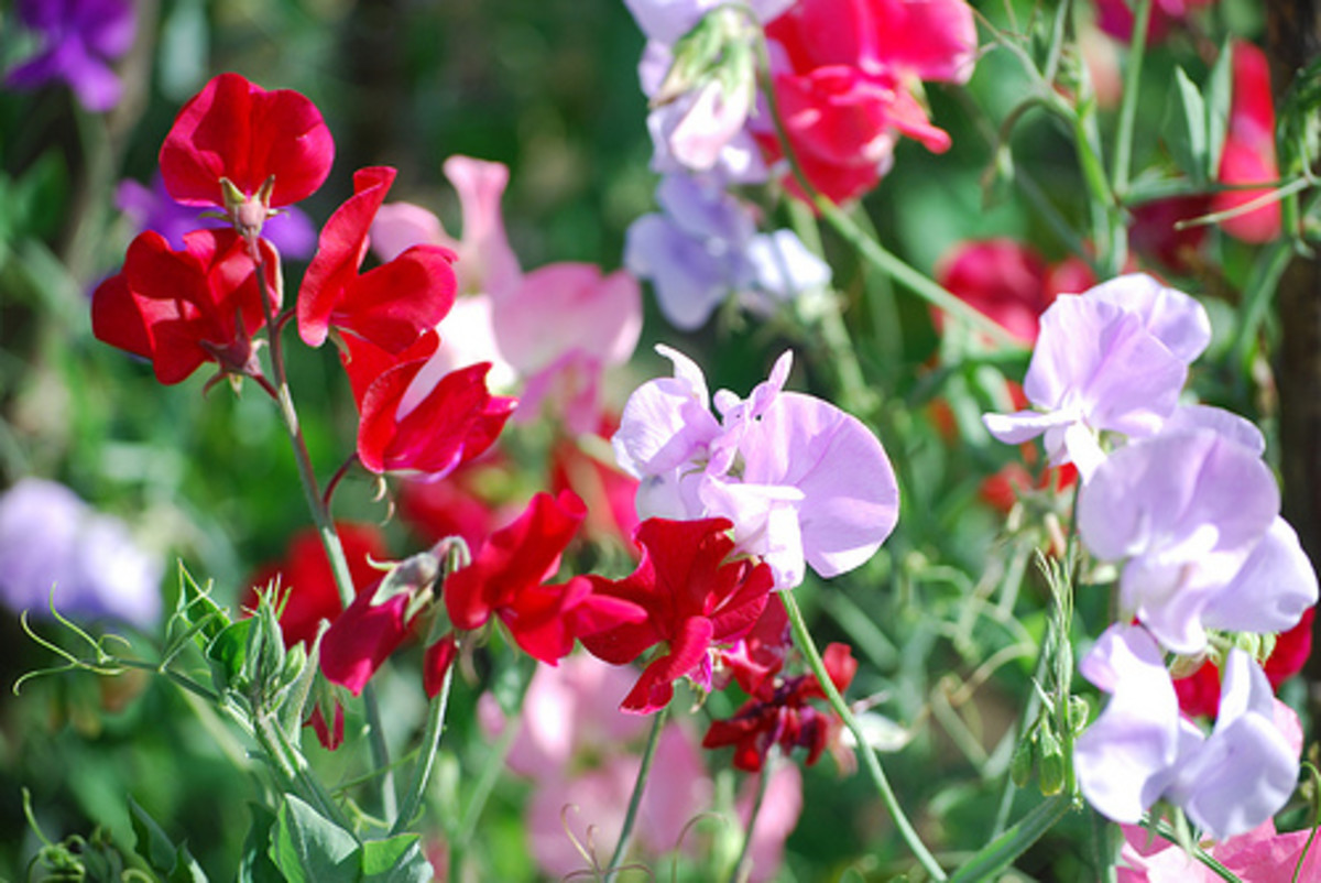 How to Grow Sweet Peas