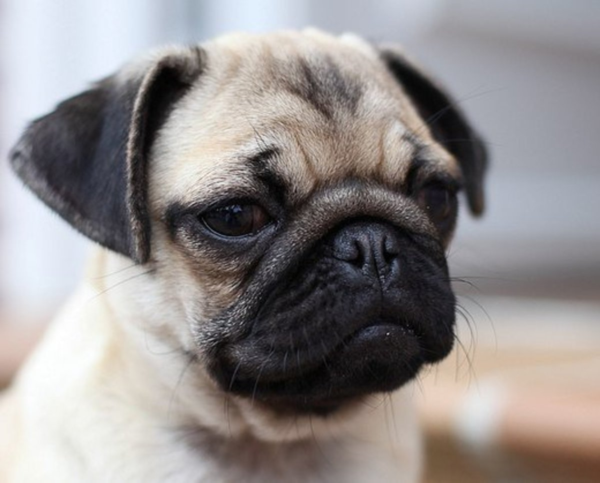 Why Pugs Make Great Family Pets