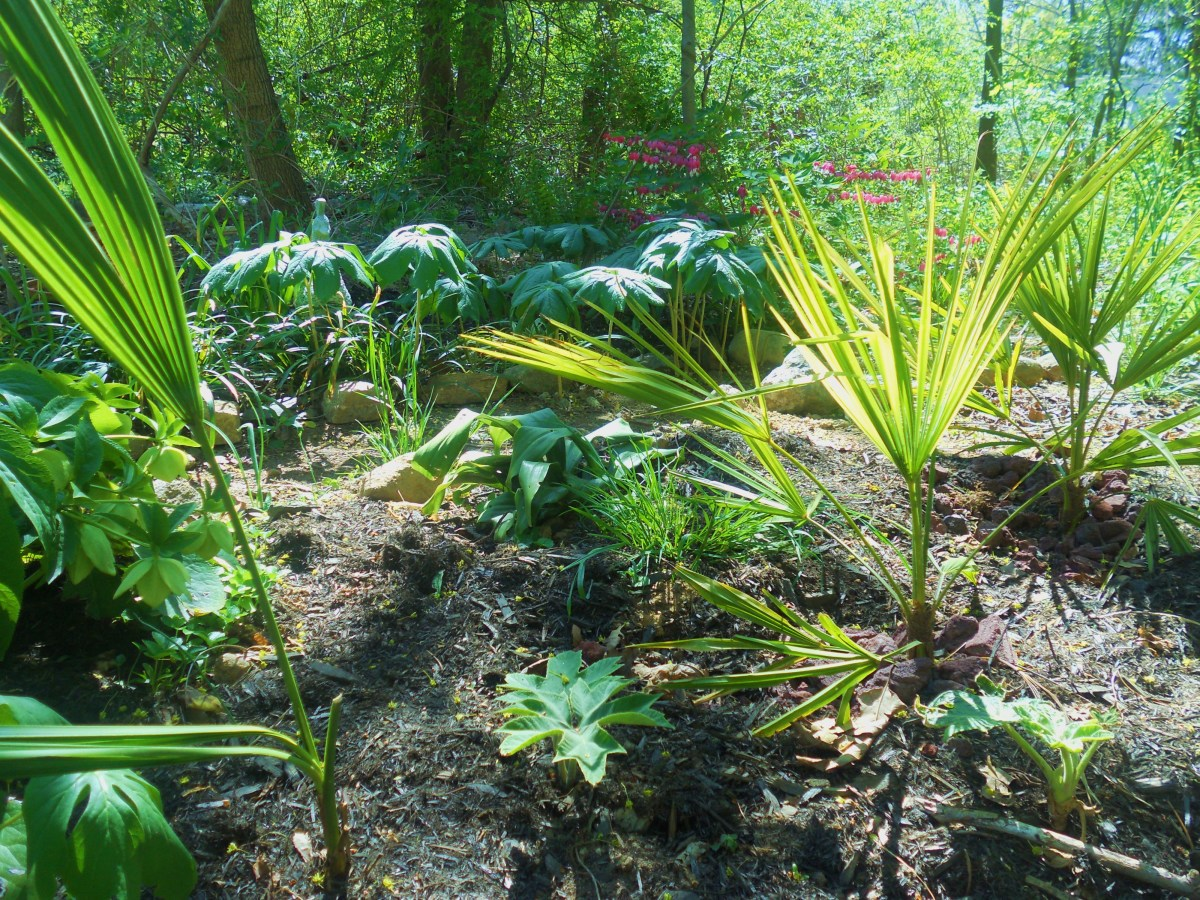 How to Grow Hardy Palm Trees Outside in Zone 5,6, and 7