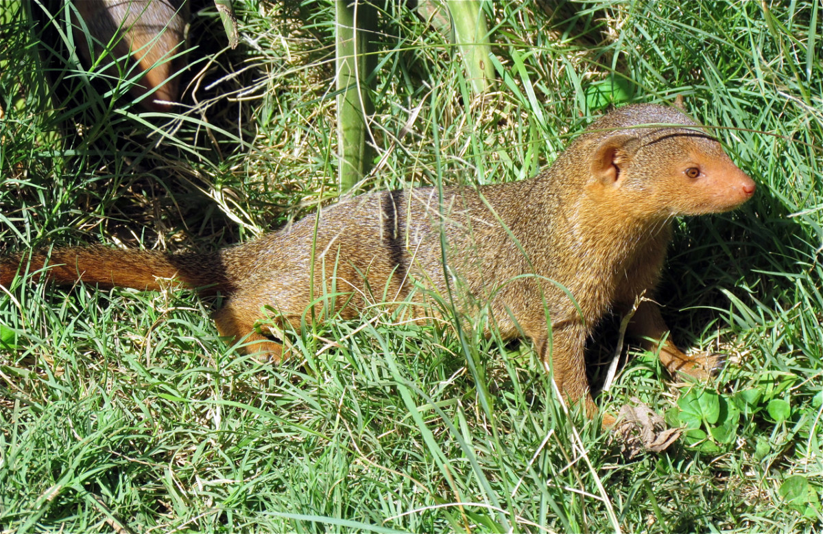 A dwarf mongoose in the Serengeti National Park